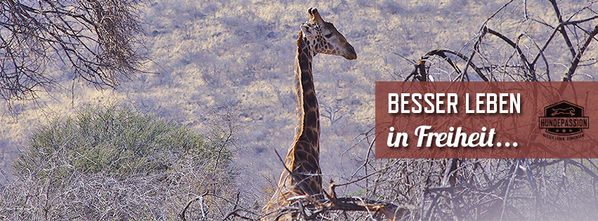 Facebook-Cover Giraffe
